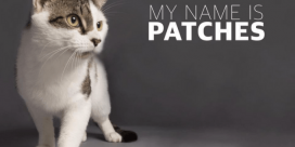 Saint John SPCA Animal Rescue Pet of the Week is Patches