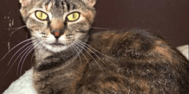 SPCA Pet of the Week is Cleo